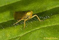 "1109-0808  Agallia Leafhopper, Agallia spp. ""Virginia"" © David Kuhn/Dwight Kuhn Photography."