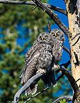 Great gray owl fledglings. Grand Teton National Park, Wyoming.