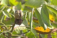 Walnuss, Walnuß, Wal-Nuss, Wal-Nuß, Reife Früchte, Nüsse in ihren Fruchtschalen am Baum, Juglans regia, Walnut, Noyer commun,