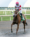 HALLANDALE BEACH, FL - JAN 13:Shining Copper #5 with Jose Ortiz in the irons heads back to the winner's circle following his win in the $200,000 Fort Lauderdale Stakes for trainer Michael J. Maker at Gulfstream Park on January 13, 2018 in Hallandale Beach, Florida. (Photo by Bob Aaron/Eclipse Sportswire/Getty Images)