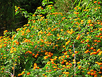 Rich dense shrubs/bushes of yellow marigold flowers