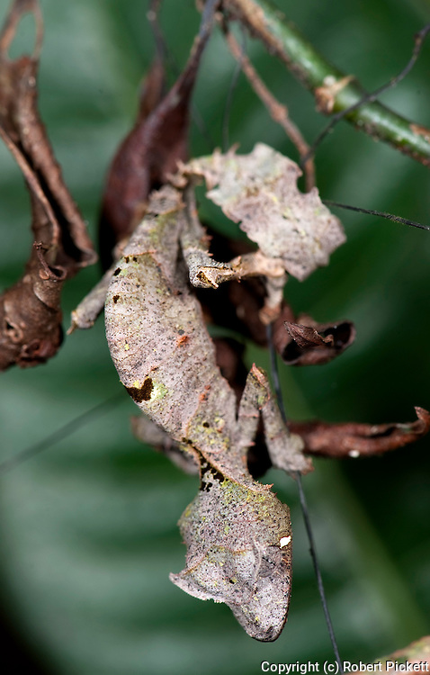 Satanic Leaf Tailed Gecko, Uroplatus phantasticus, Ranomafana National Park, Madagascar, camouflaged on leaf, Least Concern on the IUCN Red List
