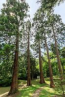 France, Indre-et-Loire, Langeais, château et jardin de langeais, au bout du parc, groupe de séquoias géants (Sequoiadendron giganteum)