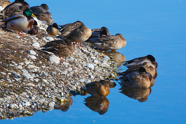 Ducks roosting on the shore of an island in a pond on a cold spring morning in Montana