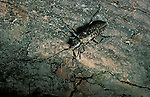 Long-horned spruce boring beetle. Lamiinae. Threat to North American forests.