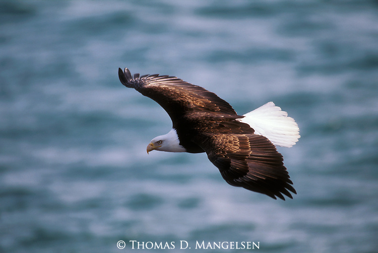 A bald eagle hunts for fish in Southeast Alaska.