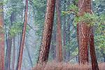 USA, California, Yosemite National Park, ponderosa pine forest