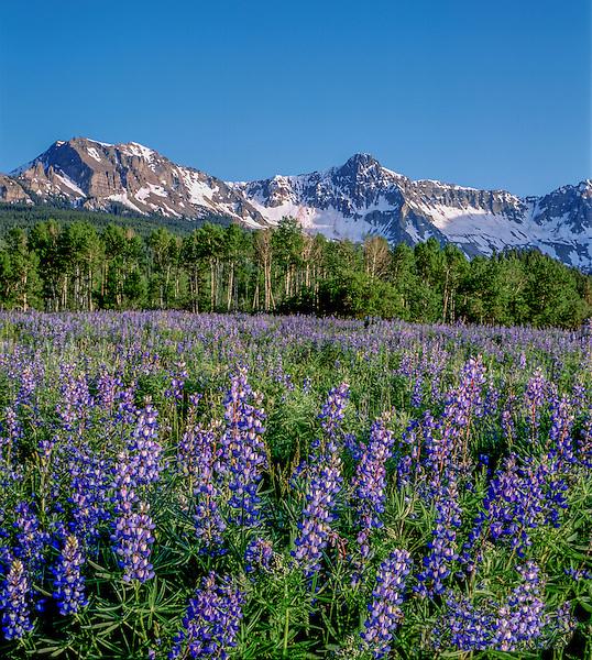 Blue lupine wildflowers and the Sneffels Range, Ridgeway, Colorado. John guides custom photo tours in the Sneffels Range and throughout Colorado.