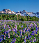 Blue lupine wildflowers and the Sneffels Range, Ridgeway, Colorado. John guides custom photo tours in the Sneffels Range and throughout Colorado.