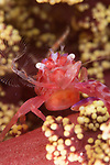 Indonesia; Lembeh; Red Porcelain crab filter feeding; crab feathers; on soft coral marine life behavior; underwater marine life