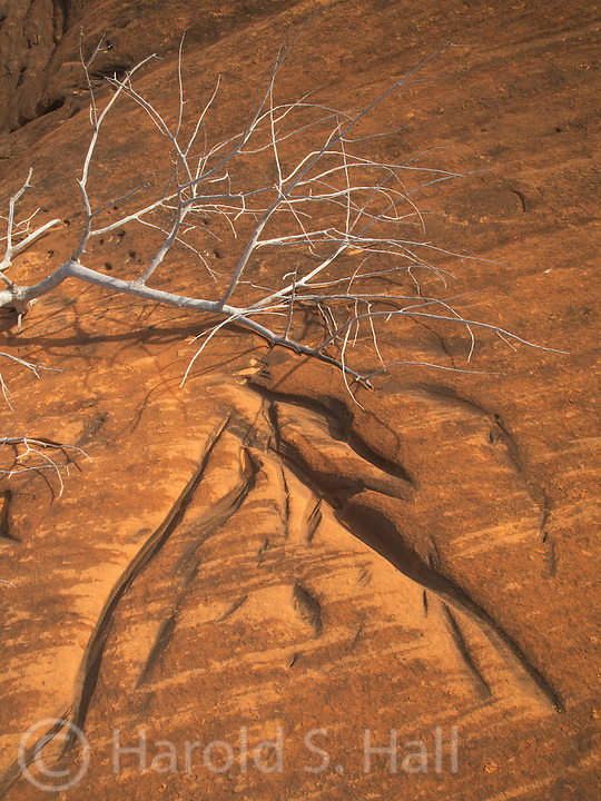 What an amazing phenomenon this is. A now dead cottonwood tree branch had grown against the adjacent sandstone cliff.  Over time, the wind caused the limb to etch away at the sandstone, leaving the impression of the branches in the stone, making a lasting impression.