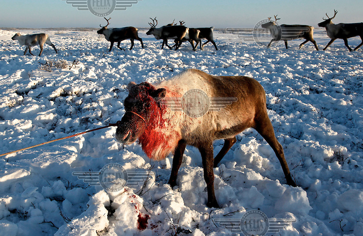 A reindeer that has just been de-horned by a Nenets herder in Naryan-Mar. The Nenets are the original inhabitants in the Russian Arctic but have been displaced by both Soviet-era collectivisation and modern gas and oil exploration. Reindeer provide the Nenets with food, shelter and clothing. They sell reindeer meat to sausage factories and the antlers to China for use as traditional medicine. /Felix Features