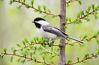 black-capped chickadee, Poecile atricapillus, perched on evergreen in spring, Nova Scotia, Canada