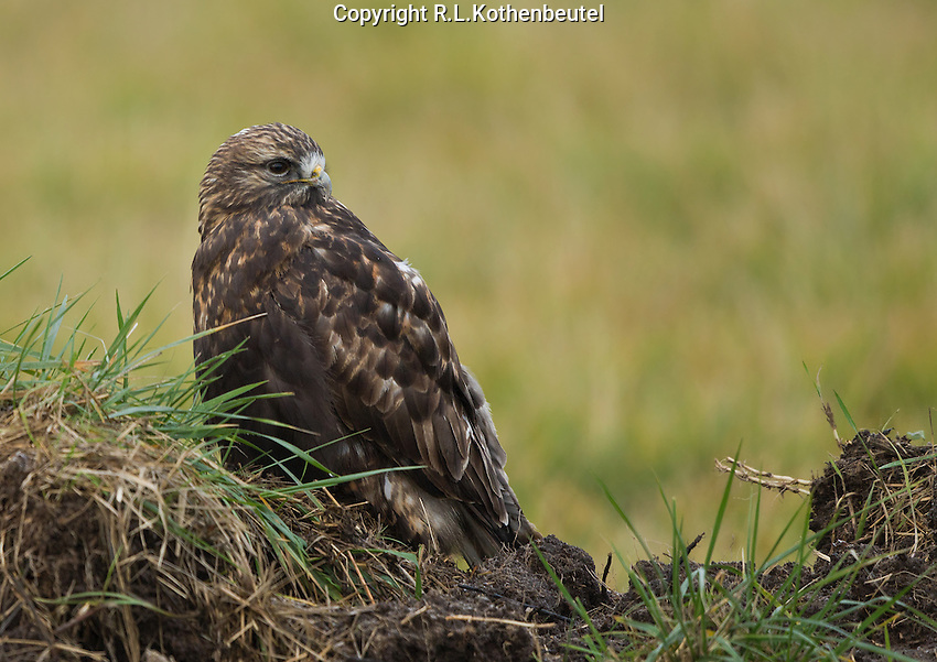 Dark morph rough-legged hawk resting on a grassy dirt mound on the Samish Flats of northwestern Washington.<br />