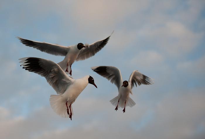 &quot;Sue&ntilde;o con tener alas, que me eleven a los confines de un incierto regreso&quot;.<br /> <br /> Cahuil / gaviotas cahuil en el puerto de Chonchi, Chilo&eacute; / Chile.<br /> <br /> EDICI&Oacute;N LIMITADA (25)