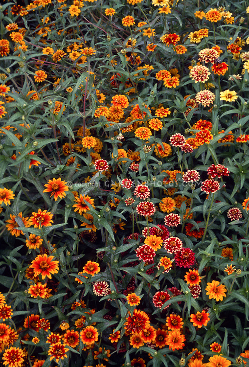 Zinnia 'Persian Carpet' Mixed, small flowered zinnias in colorful orange, red and yellow, annual flowers