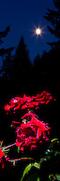 Panorama of Red Roses with moon glowing in twilight sky with silhoutte of trees