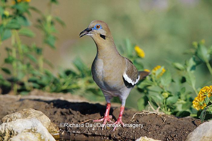 01079-00204 White-winged Dove (Zenaida asiatica) calling near water  Starr Co. TX