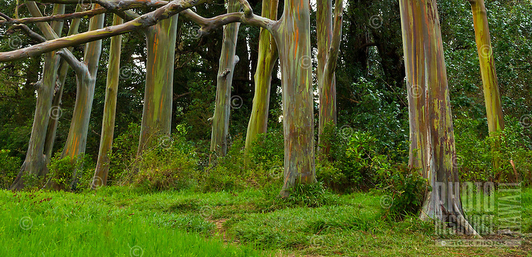 A small grove of rainbow eucalyptus trees, Maui.
