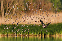 Bald Eagle (Haliaeetus leucocephalus) immature disturbs flock of migrating dunlins (Calidris alpina) in a freshwater Lake Erie marsh, spring, Ottawa NWF, Ohio, USA.