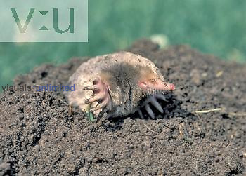 Common or Eastern Mole (Scalopus aquaticus), North America.