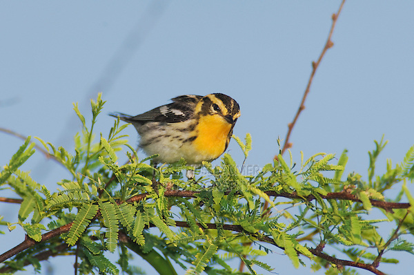 Blackburnian Warbler, Dendroica fusca, female, Port Aransas, Texas, USA, May 2007