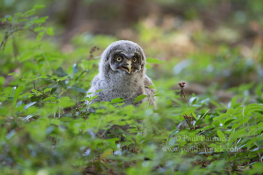 A fledgling Great Gray owl ventures out after fledging hours ealier.