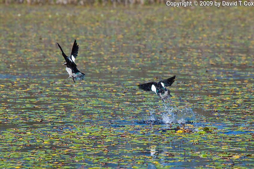 Green Pygmy-Goose, Mareeba Wetlands, Queensland, Australia