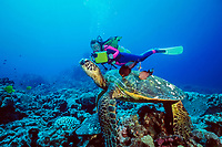 diver and green sea turtle, Chelonia mydas, being cleaned by gold-ring surgeonfish, Ctenochaetus strigosus, (endemic to Hawaii), Turtle Pinnacles, Kona, Big Island, Hawaii, Pacific Ocean
