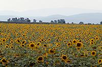 Bulgarien, Sonnenblumenfeld bei Kalofer