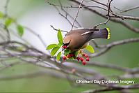 01415-03510 Cedar Waxwing (Bombycilla cedrorum) eating Serviceberry (Amelanchier canadensis) Marion Co. IL