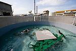 Sea Otter (Enhydra lutris) trio that was rescued swimming in seclusion tank, Monterey Bay Aquarium, Monterey Bay, California