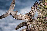 La Jolla, California; an adult male Peregrine Falcon (Falco peregrinus)  taking flight from a tree stump along the rocky cliff, to avoid one of its three chicks coming in to land, on a sunny afternoon with the Pacific Ocean in the background