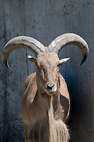 Barbary Sheep looking at the camera