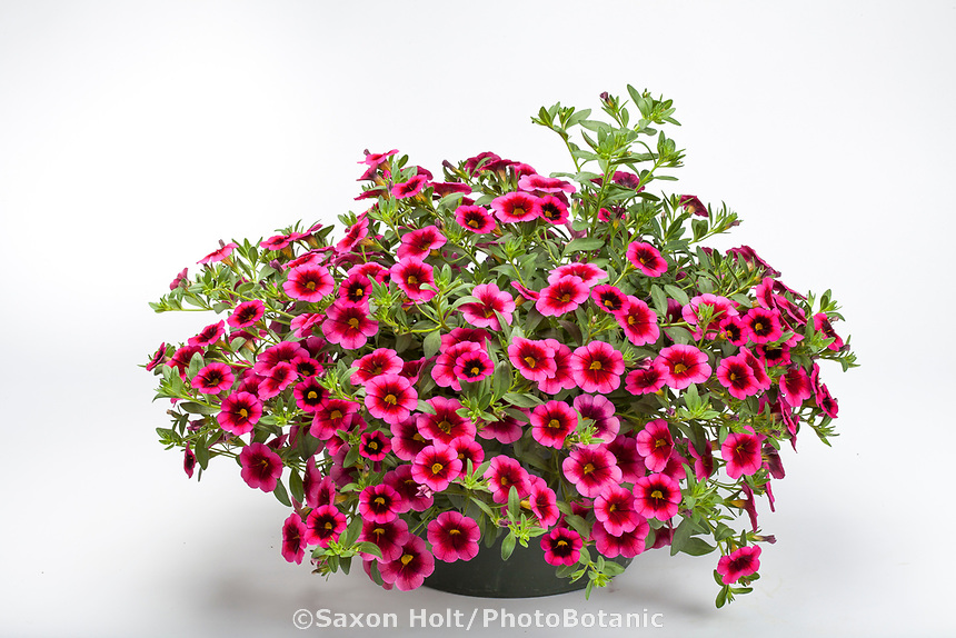 Nursery container, pot of flowering Callie Synchro Raspberry Dark Eye, Calibrachoa on white background - Syngenta Flowers