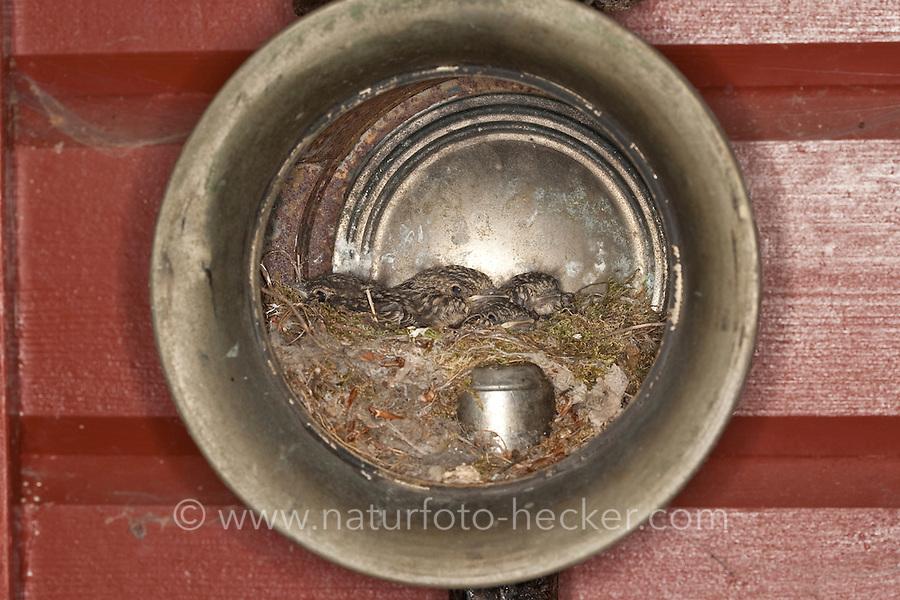 Grauschnäpper, Grau-Schnäpper Küken im Nest in einer alten Laterne, Lampe, am Haus, Muscicapa striata, Spotted Flycatcher, Gobemouche gris