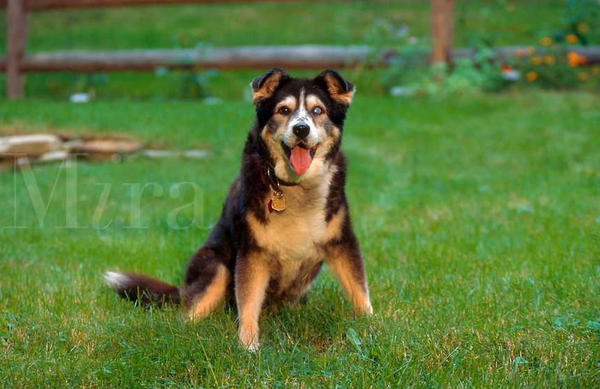 Older mixed-breed dog; blind in one eye.