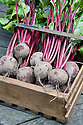 A wooden box of freshly harvested 'Action' beetroot.