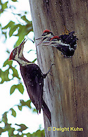 1P03-007z  Pileated Woodpecker - feeding young - Dryocopus pileatus or Hylatomus pileatus