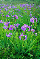 Wild Iris, Fairbanks, Alaska