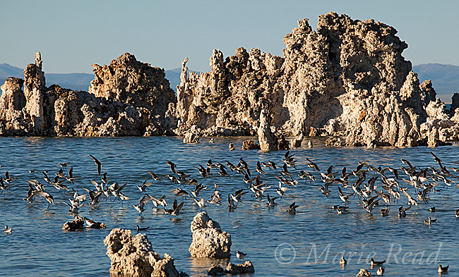 Wilson's Phalaropes (Phalaropus tricolor), flock landing amid tufa formations at Mono Lake, California, USA