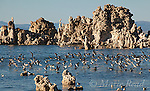 Wilson's Phalaropes (Phalaropus tricolor), flock landing amid tufa formations at Mono Lake, California, USA