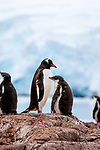 The Gentoo penguin colony at Jougla Piont, Antarctica
