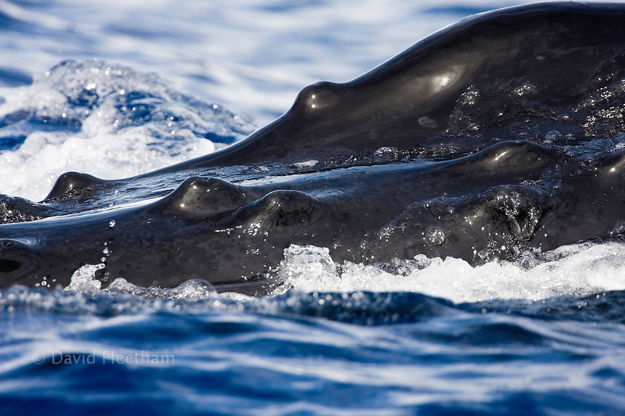 """A close look at the bump-like knobs known as tubercles on the top of the head of a humpback whale, Megaptera novaeangliae. Each protuberance contains at least one stiff hair. The purpose of these hairs is not known, though they may provide the whale with a sense of """"touch."""" Hawaii.."""