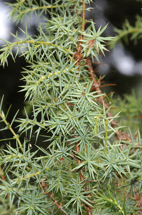Prickly Juniper or Cade Juniperus oxycedrus (Cupressaceae) HEIGHT to 14m. Spreading evergreen shrub or small untidy tree. BARK Brown, sometimes tinged with purple; peels away in vertical strips. LEAVES Sharply pointed needles arranged in whorls of 3; upper leaf surface has 2 pale bands separated by slightly raised midrib, and lower surface has pronounced midrib. REPRODUCTIVE PARTS Female cones are rounded or pear-shaped, and mature to a reddish colour. STATUS AND DISTRIBUTION Native of S Europe, generally preferring dry habitats.