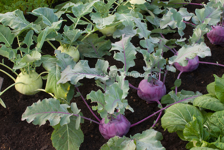 Kohlrabi root vegetable growing, two colors together in garden, purple and green