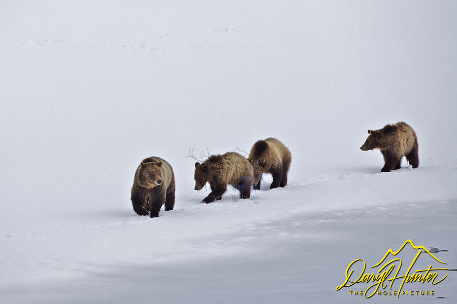 Grizzly 610 and cubs, Grand Teton National Park