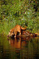 Mountain lion swats fish in a stream