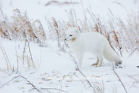 01863-01601 Arctic Fox (Alopex lagopus) in winter Churchil Wildlife Management Area Churchill, MB