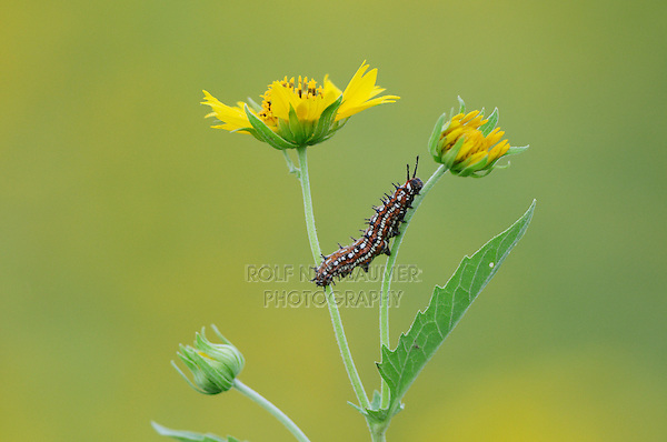 Caterpillar (Lepidoptera), adult walking on Cowpen Daisy, Golden Crownbeard (Verbesina encelioides), Laredo, Webb County, Texas, USA